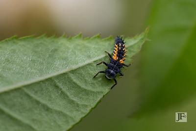 Harlequin ladybird larva, Gers