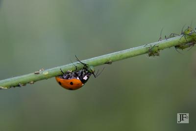 Ladybird, Suffolk