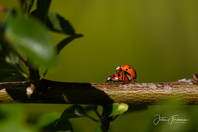 Ladybirds, Stour Valley