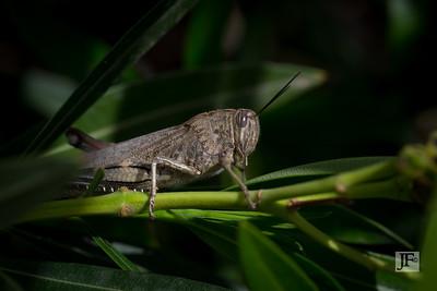 Locust, Provence