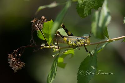 Locust, Pulau Ubin