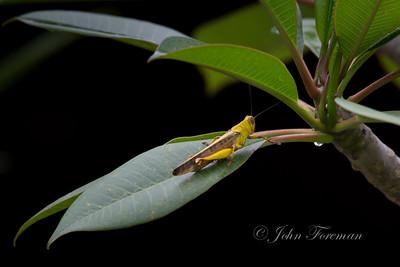 Locust, Borabudur