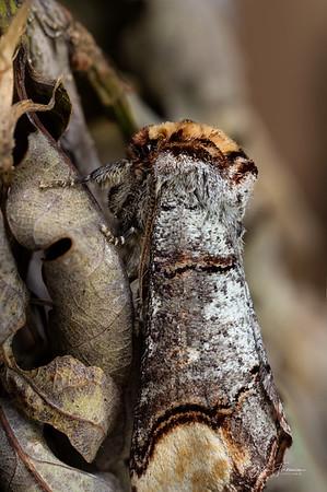 Buff-tip Moth, Gwynedd