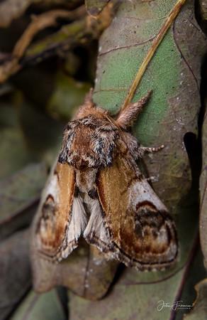 Pebble Prominent Moth, Gwynedd