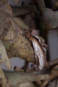 Lesser Swallow Prominent Moth, Gwynedd