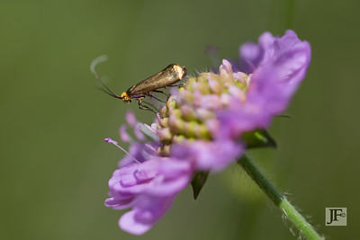 Clothes Moth, Suffolk