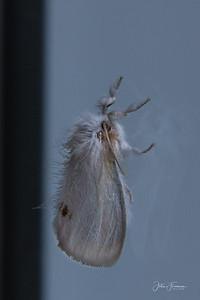 Yellow-tail Moth, Gwynedd
