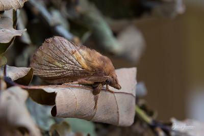 Drinker Moth, Gwynedd