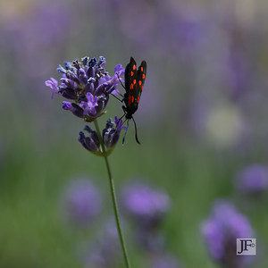 Six-spot Burnet Moth, Peyre