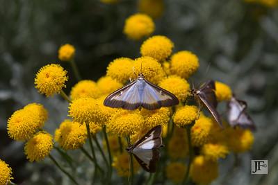 Box Tree Moth, Peyre
