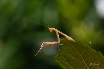 Praying Mantis, Luberon