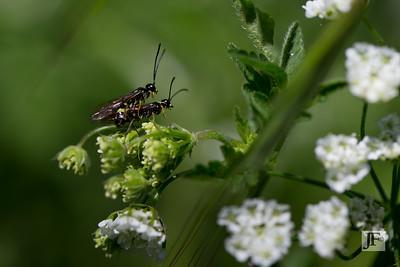 Stem Sawflies, Suffolk