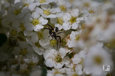 Napoleon spider, Gers
