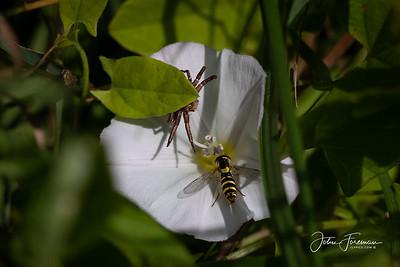 Flower Crab Spider, Dorset