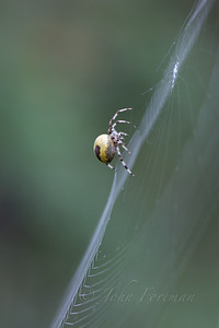 Marbled Orb Weaver Spider, Lakenheath
