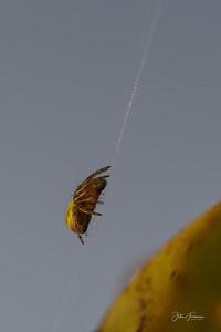 Green Orb-Weaver Spider, Dorset