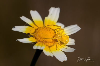 Yellow Crab Spider, Rio Guadalhorce
