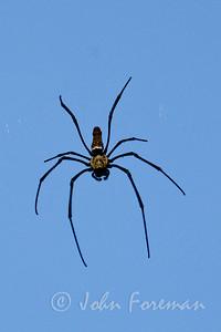 Giant wood spider, Sungei Buloh