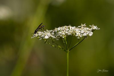 Collyriinae, Wiltshire