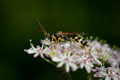 Potter Wasp, Suffolk
