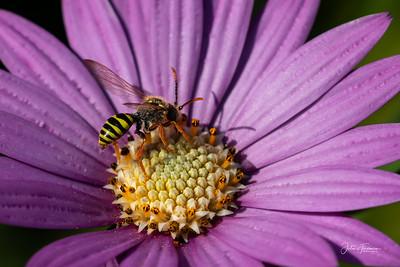 European Paper Wasp, Dorset