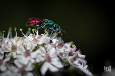 Ruby-tailed Wasp, Suffolk