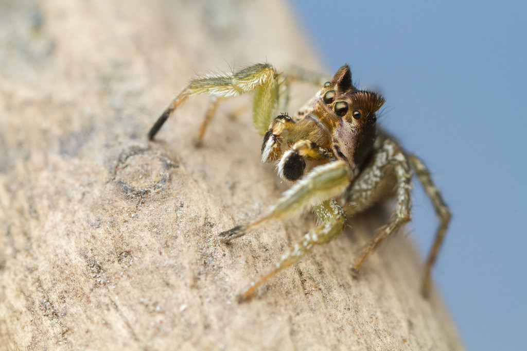 IMAGE: https://photos.smugmug.com/Arthropods/Arthropods-of-North-America/Arachnids/Spiders/Salticidae-/i-3Pcf9tr/0/d05d7931/XL/20170803-_MG_8482IVB%20and%20Home%20macro-XL.jpg