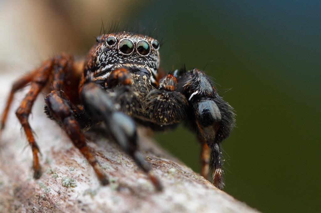 IMAGE: https://photos.smugmug.com/Arthropods/Arthropods-of-North-America/Arachnids/Spiders/Salticidae-/i-DpFJNFr/0/da90a59d/XL/20180701-_MG_1332_-Edit-XL.jpg