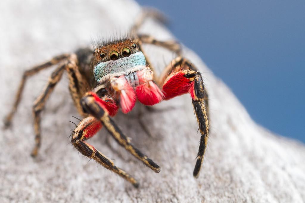 IMAGE: https://photos.smugmug.com/Arthropods/Arthropods-of-North-America/Arachnids/Spiders/Salticidae-/i-Z24BQtN/0/59c716ee/XL/20180705-_MG_1873_-XL.jpg