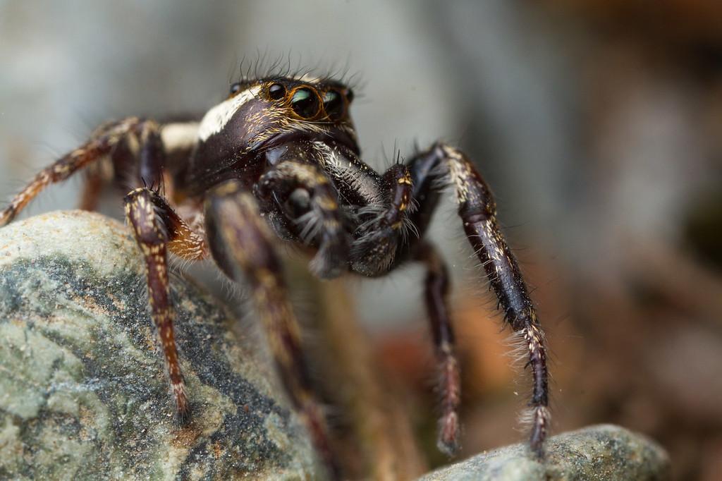 IMAGE: https://photos.smugmug.com/Arthropods/Arthropods-of-North-America/Arachnids/Spiders/Salticidae-/i-ZZsCdck/0/ad19171a/XL/20170810-_MG_0610goldstream%20macro-XL.jpg