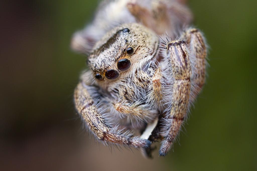 IMAGE: https://photos.smugmug.com/Arthropods/Arthropods-of-North-America/Arachnids/Spiders/Salticidae-/i-scJzv4K/0/c749e47a/XL/20170810-_MG_0473goldstream%20macro-Edit-XL.jpg