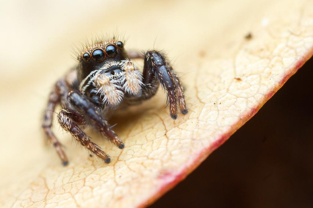 IMAGE: https://photos.smugmug.com/Arthropods/Arthropods-of-North-America/Arachnids/Spiders/Salticidae-/i-tcRCQXL/0/74c16506/XL/20170803-_MG_8567IVB%20and%20Home%20macro-XL.jpg