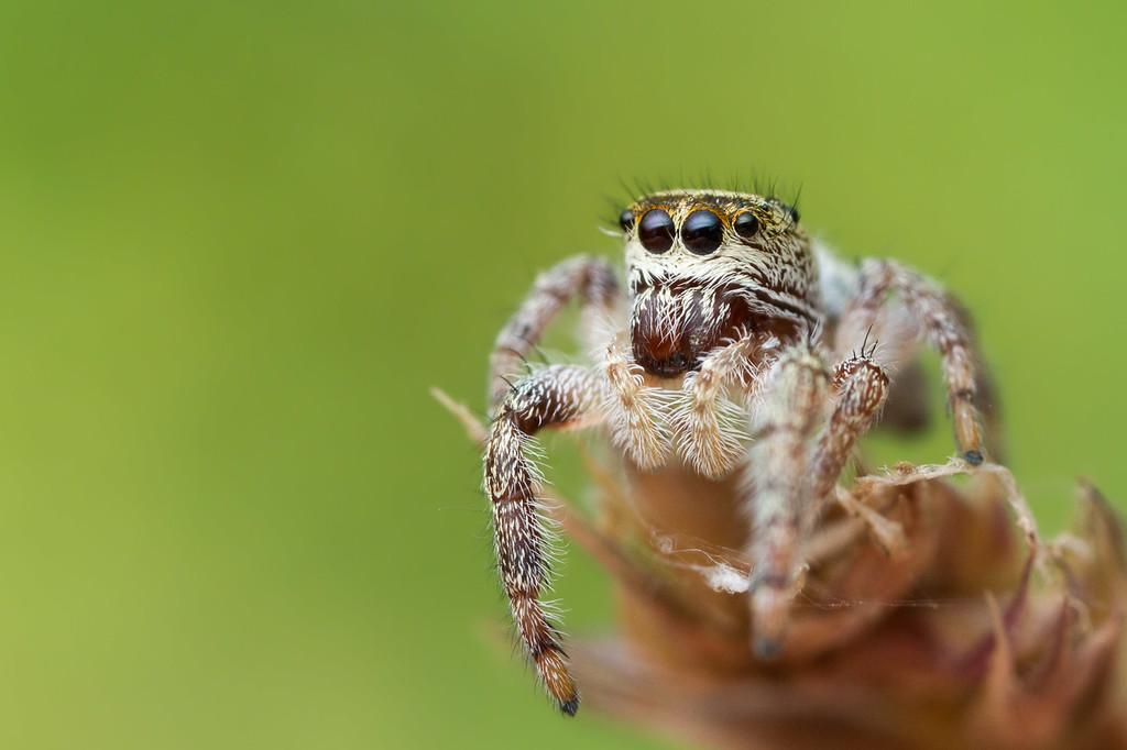 IMAGE: https://photos.smugmug.com/Arthropods/Arthropods-of-North-America/Arachnids/Spiders/Salticidae-/i-vzCzh79/0/b7ec60a4/XL/20170705-_MG_2649goldstream%20macro-Edit-XL.jpg