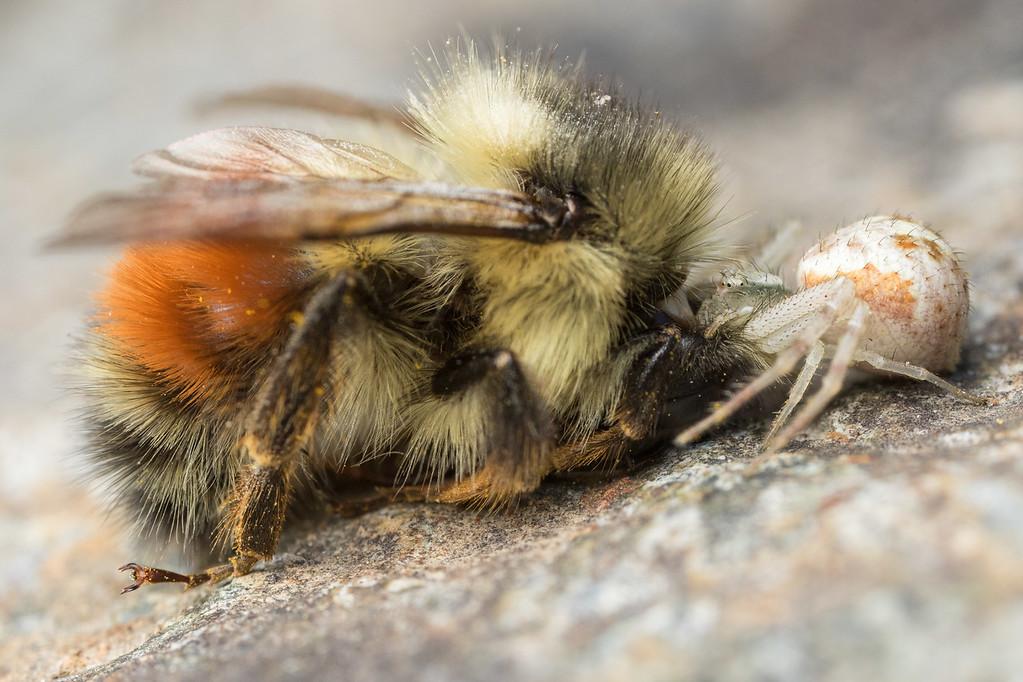IMAGE: https://photos.smugmug.com/Arthropods/Arthropods-of-North-America/Arachnids/Spiders/Thomisidae/i-CNhDGsf/0/6d43d612/XL/20170621-7B1A0597mostly%20swallows-Edit-XL.jpg
