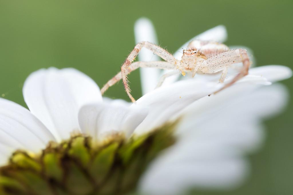 IMAGE: https://photos.smugmug.com/Arthropods/Arthropods-of-North-America/Arachnids/Spiders/Thomisidae/i-QbTwkRD/0/b5153c7e/XL/20170607-7B1A6799backyard%20macro-XL.jpg