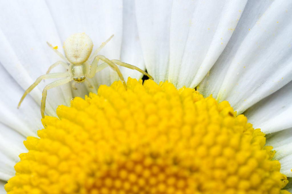 IMAGE: https://photos.smugmug.com/Arthropods/Arthropods-of-North-America/Arachnids/Spiders/Thomisidae/i-mbqW2WD/0/cdaa7d43/XL/20120210-_MG_8898%20yard%20macro-Edit-XL.jpg