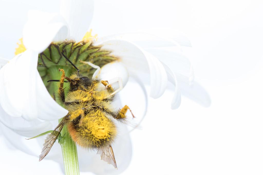 IMAGE: https://photos.smugmug.com/Arthropods/Arthropods-of-North-America/Arachnids/Spiders/Thomisidae/i-pkcmj4V/0/a332b608/XL/20170612-7B1A8825yard%20macro-XL.jpg