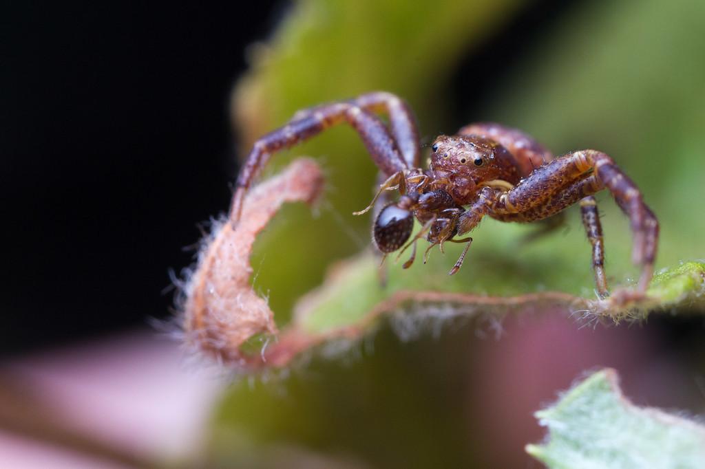 IMAGE: https://photos.smugmug.com/Arthropods/Arthropods-of-North-America/Arachnids/Spiders/Thomisidae/i-vfhkPfM/0/6175f6b5/XL/20170812-_MG_1048macro-XL.jpg