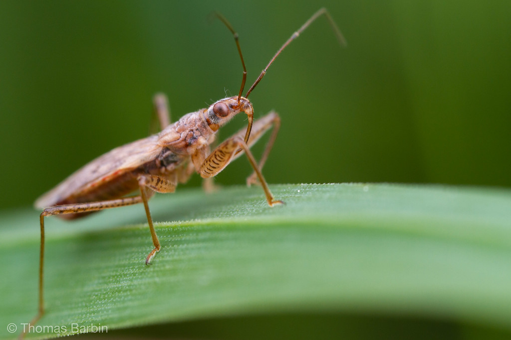 IMAGE: https://photos.smugmug.com/Arthropods/Arthropods-of-North-America/Insects/Hemiptera-/i-DxtgHfp/0/52848fad/XL/20190527-_MG_6823%20johnson%27s%20jumper-XL.jpg