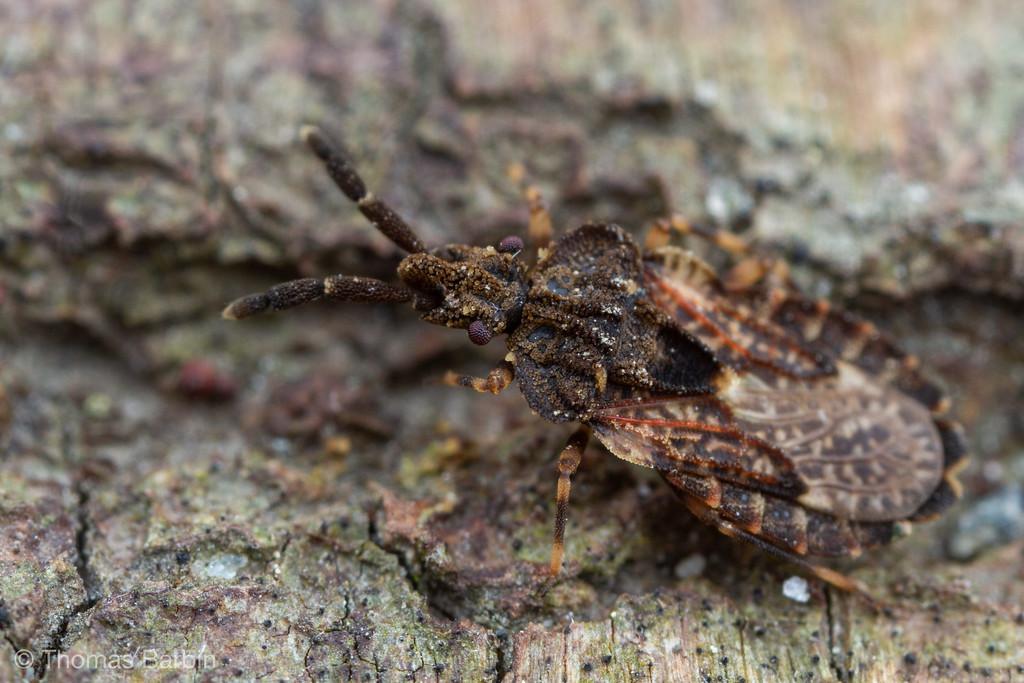 IMAGE: https://photos.smugmug.com/Arthropods/Arthropods-of-North-America/Insects/Hemiptera-/i-ctcm7S4/0/6e638160/XL/20190527-_MG_6875%20johnson%27s%20jumper-XL.jpg