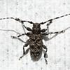 Gråskimlet løvtrebukk (Aegomorphus clavipes)