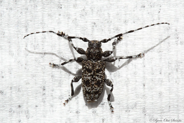 Cerambycidae (Long-horned beetles / Trebukker)