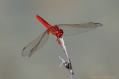 Red Skimmer dragonfly (Crocothemis chinensis).