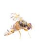 Mediterranean Fruit Fly - Ceratitis capitata