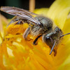 Most bees are solitary and subtly forage for nectar and pollen in the environment. <br /> <br /> USA, California, Butte County