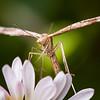 Lioptilodes albistriolatus on Erigeron sp.<br /> <br /> USA, California, Yolo County