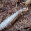 Western Subterranean Termite, Winged Worker - Reticulitermes hesperus
