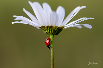 Ladybird & daisy, Suffolk