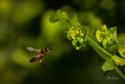 Honeybee, Wiltshire