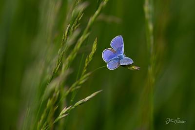 Adonis Blue, Gers